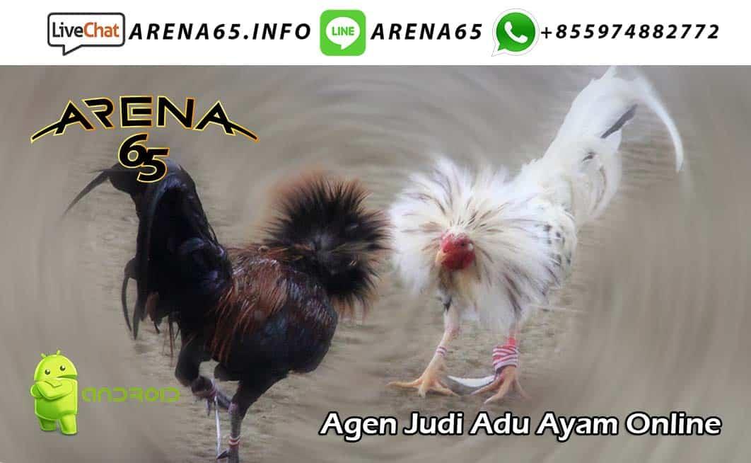 Agen Judi Adu Ayam Online